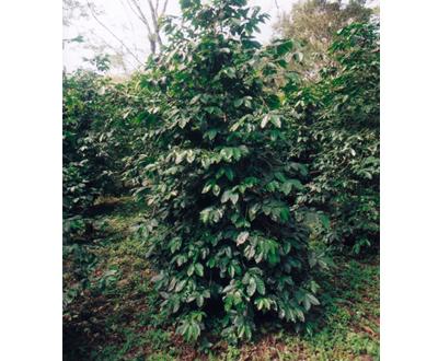Kawowiec